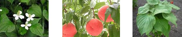 写真:どくだみ、桃、しその葉