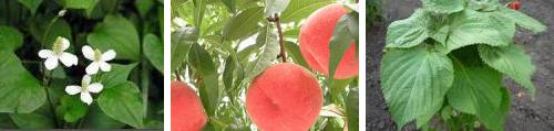 どくだみ、桃、しその葉